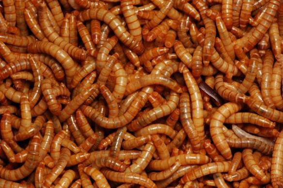 article-maggots-1212