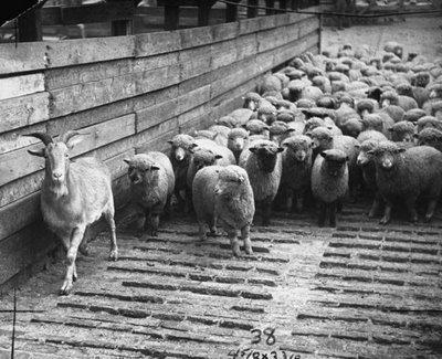 judas-goat