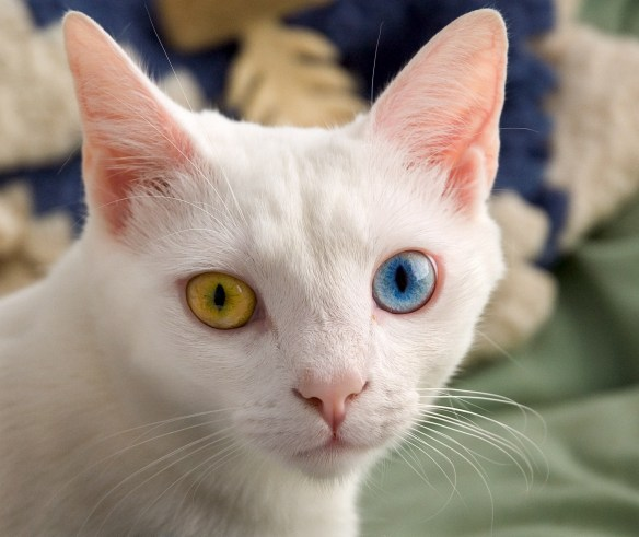 June_odd-eyed-cat_cropped