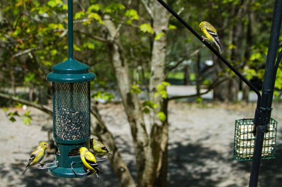 Goldfinch lunch 3