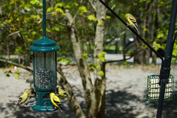 Goldfinch lunch 3